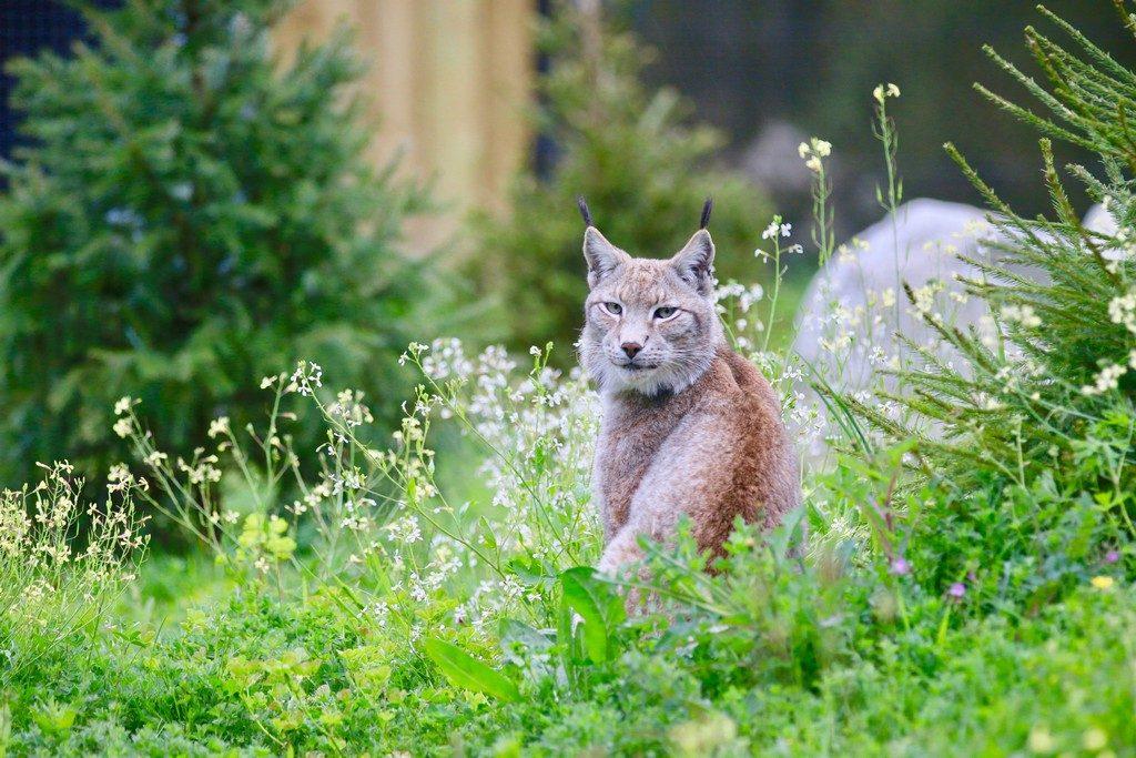 1.zoo-labenne-oti-LandesAtlantiquesud-lynx
