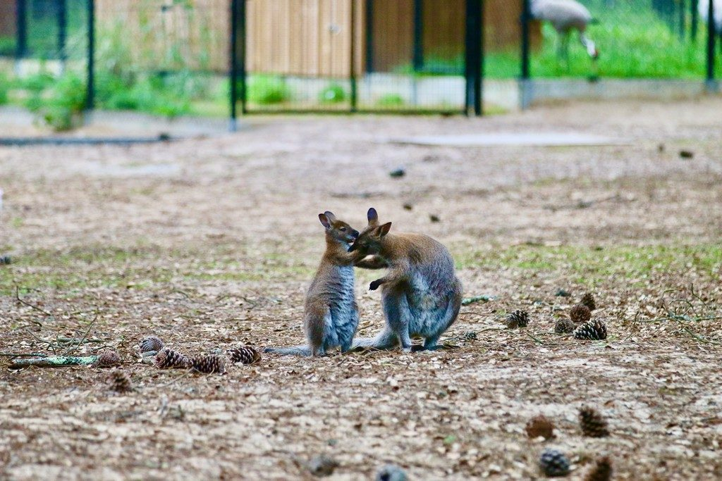 11.zoo-labenne-oti-LandesAtlantiquesud-wallaby