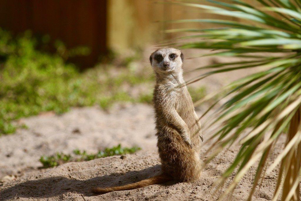 4.zoo-labenne-oti-LandesAtlantiquesud-suricate