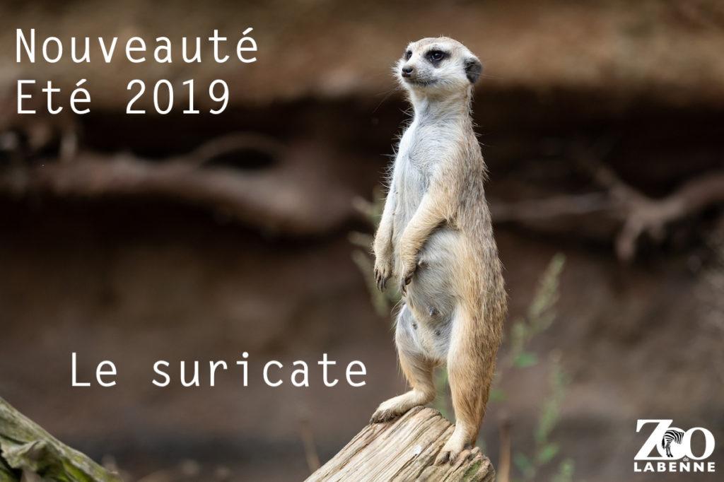suricate-nouveaute-2019-zoo-labenne