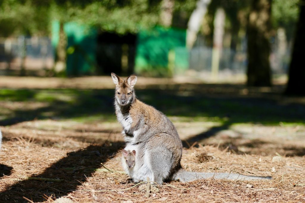 Zoo-labenne-Wallaby-OTI LAS